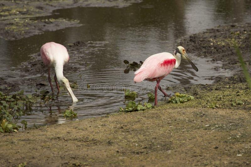 Cavalieri d'Italia, con le spatole rosee ad Orlando Wetlands Park immagini stock