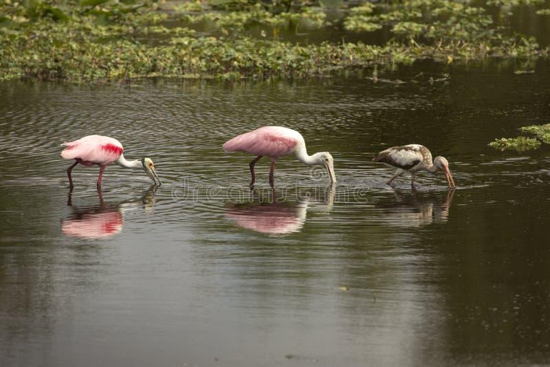 Cavalieri d'Italia, con le spatole rosee ad Orlando Wetlands Park fotografia stock