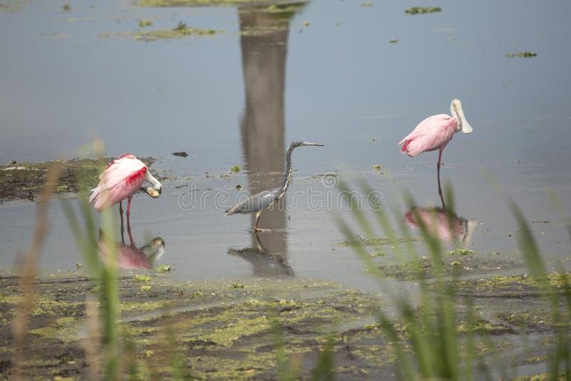 Cavalieri d'Italia, con le spatole rosee ad Orlando Wetlands Park fotografia stock libera da diritti