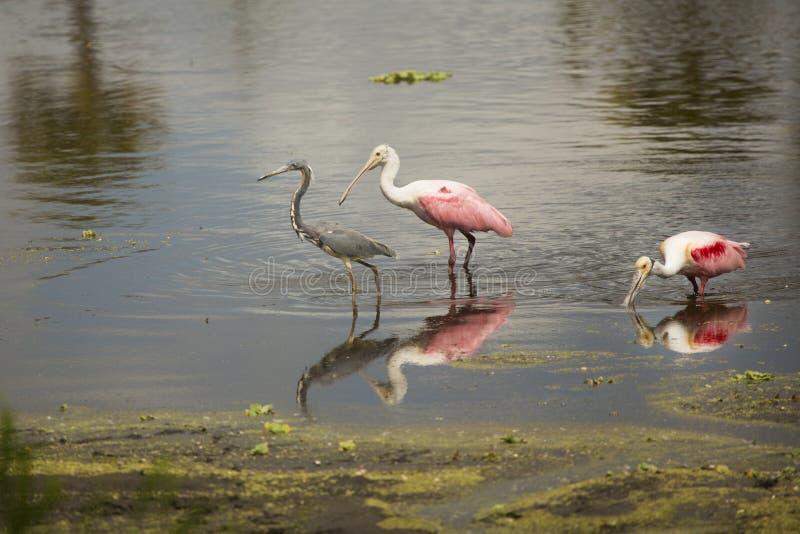 Cavalieri d'Italia, con le spatole rosee ad Orlando Wetlands Park immagini stock libere da diritti