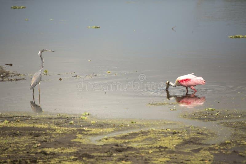 Cavalieri d'Italia, con le spatole rosee ad Orlando Wetlands Park fotografie stock libere da diritti