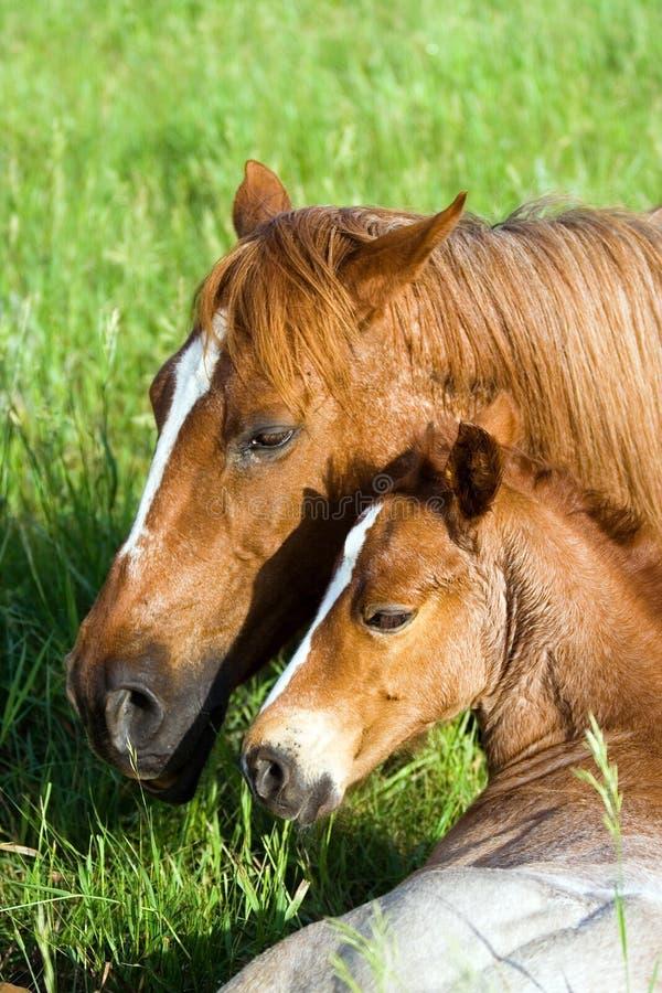 cavalla e foal del Quarto-cavallo fotografia stock libera da diritti