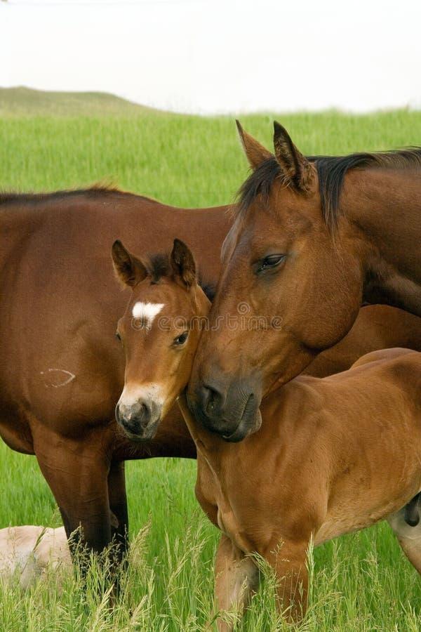 Cavalla e foal della baia fotografie stock