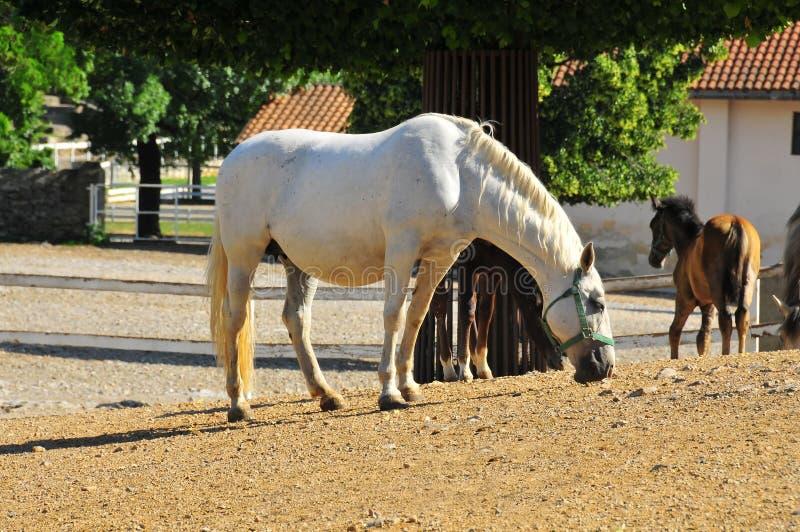 Cavalla e foals di Lipizaner alla vite prigioniera fotografia stock libera da diritti