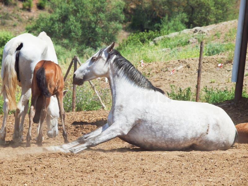 Cavalla grigia del Andalusian della razza di Laeing fotografia stock libera da diritti