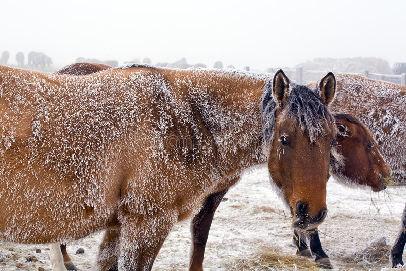Cavalla in inverno immagine stock libera da diritti