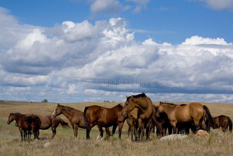 Cavalle del cavallo quarto su priarie fotografia stock libera da diritti