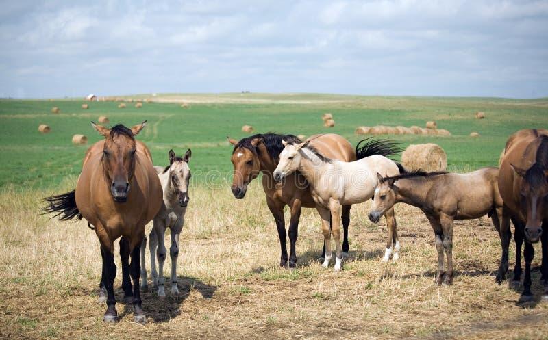 Cavalle del Quarto-Cavallo del Dun   immagini stock libere da diritti