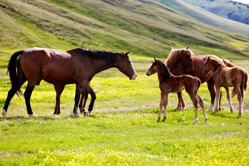 Cavalle e foals immagine stock