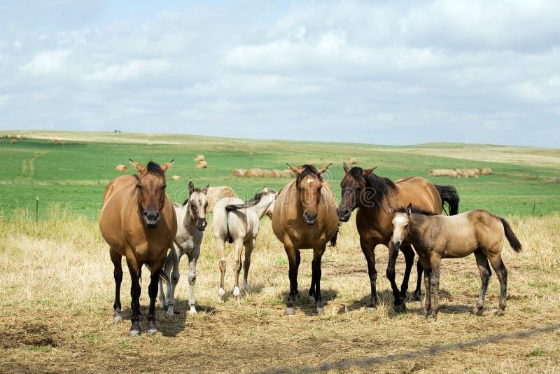 Cavalle e Foals in pascolo immagine stock
