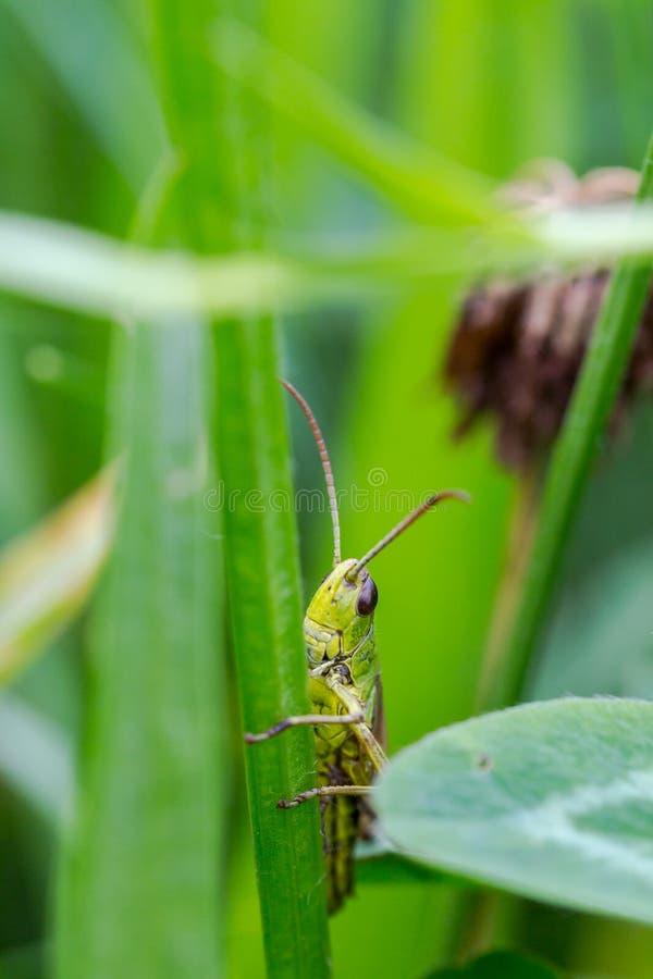 Cavalletta, Caelifera, nascosto in erba verde nella macro estrema s immagini stock