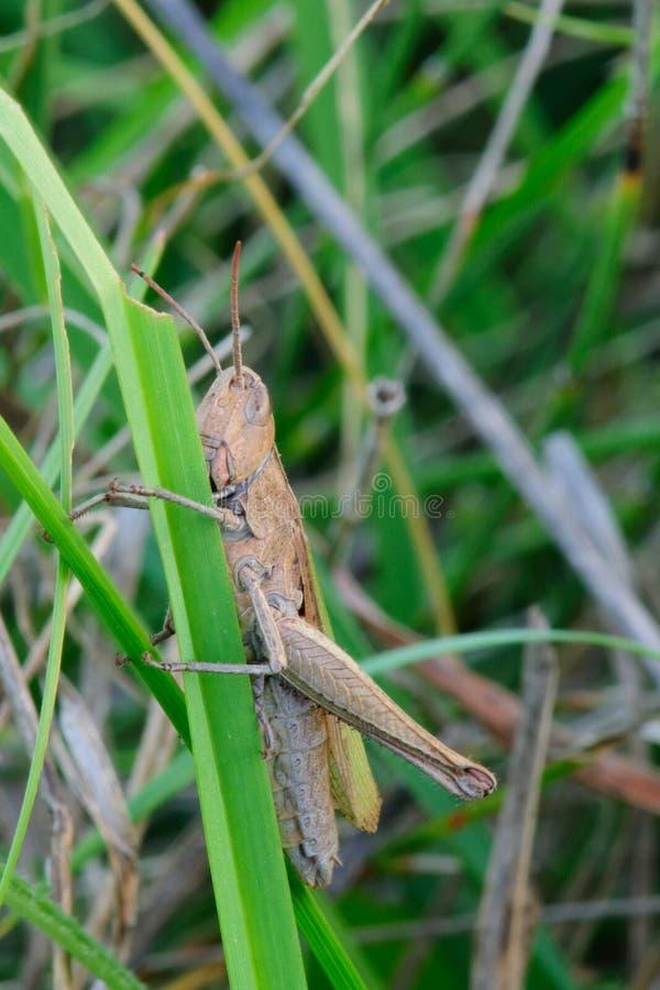 Cavalletta che riposa nell'erba - primo piano fotografia stock