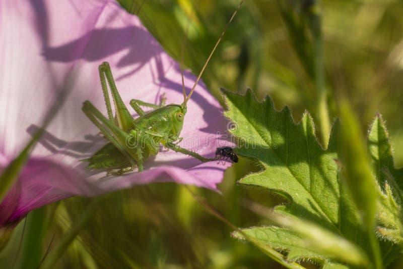 Cavalletta dalle lunghe corna del Orthopteran sul fiore fotografia stock libera da diritti