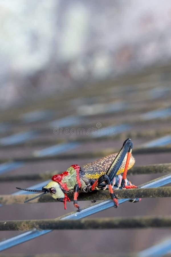 Cavalletta della schiuma di Koppie Cavalletta/locusta Colourful fotografata nel canyon del fiume di Blyde, Sudafrica fotografia stock libera da diritti