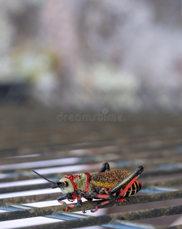 Cavalletta della schiuma di Koppie Cavalletta/locusta Colourful fotografata nel canyon del fiume di Blyde, Sudafrica immagini stock libere da diritti