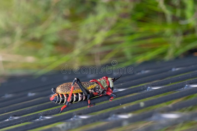 Cavalletta della schiuma di Koppie Cavalletta/locusta Colourful fotografata nel canyon del fiume di Blyde, Sudafrica immagine stock