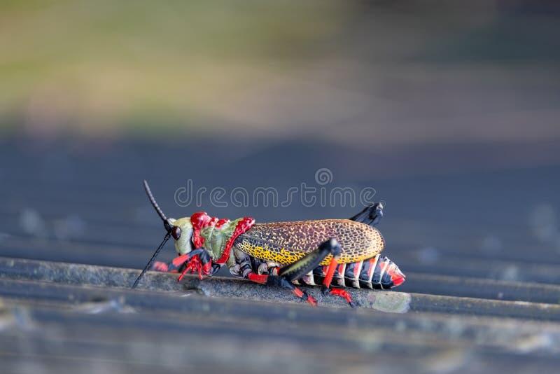 Cavalletta della schiuma di Koppie Cavalletta/locusta Colourful fotografata nel canyon del fiume di Blyde, Sudafrica fotografia stock