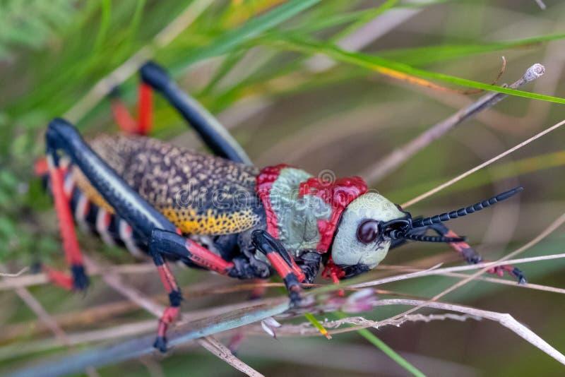 Cavalletta della schiuma di Koppie Cavalletta/locusta Colourful fotografata nel canyon del fiume di Blyde, Sudafrica fotografie stock