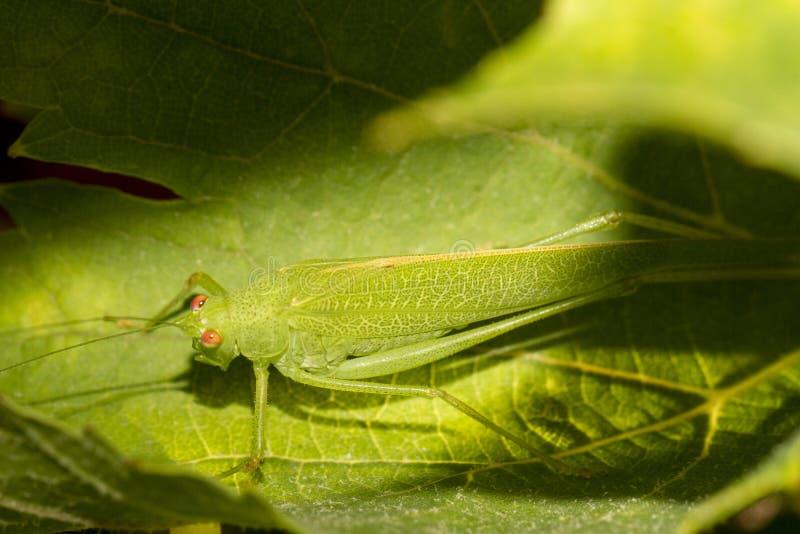 Download Cavalletta Europea (viridissima Di Tettigonia) Fotografia Stock - Immagine di occhio, bello: 30825192