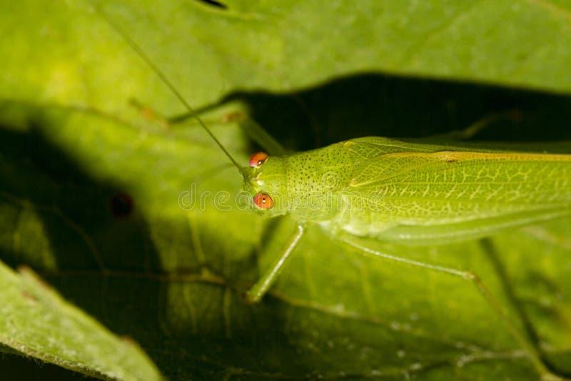 Download Cavalletta Europea (viridissima Di Tettigonia) Fotografia Stock - Immagine di rosso, grasshopper: 30825204