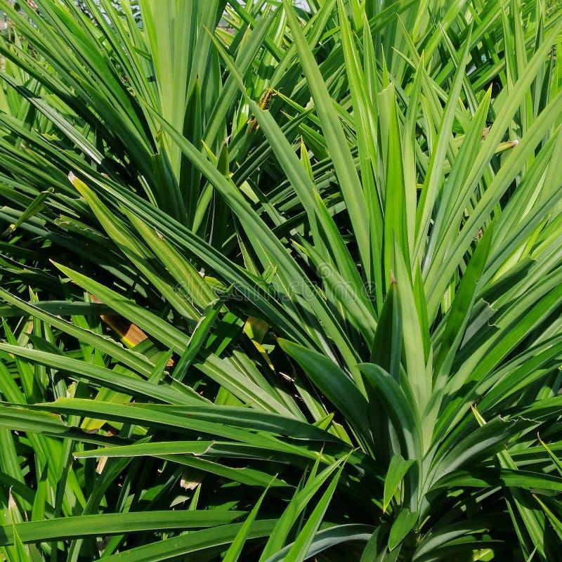 Cavalletta gialla che si rilassa sulle foglie di Pandan immagine stock libera da diritti