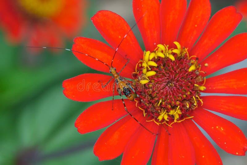Cavalletta macchiata su un fiore rosso fotografia stock libera da diritti