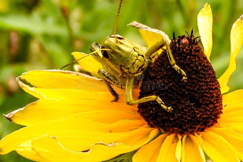 Cavalletta sul fiore 1 immagini stock