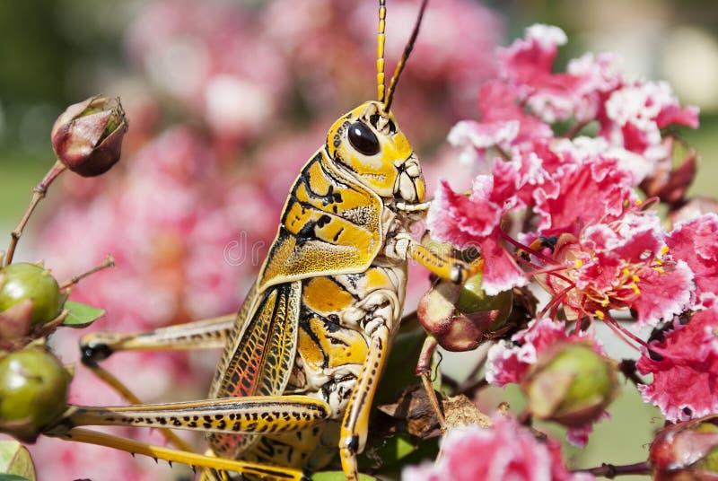 Cavalletta sul fiore fotografie stock libere da diritti