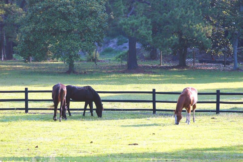 Cavalli # 1 immagini stock