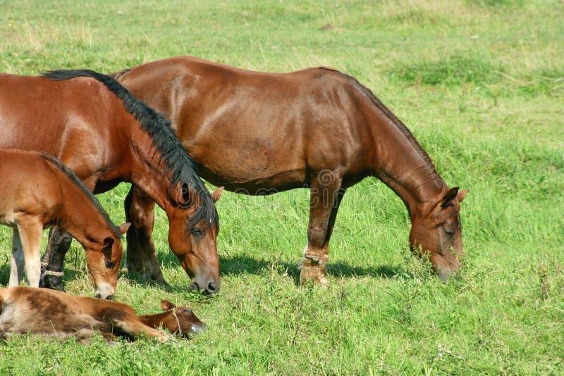 Cavalli immagini stock