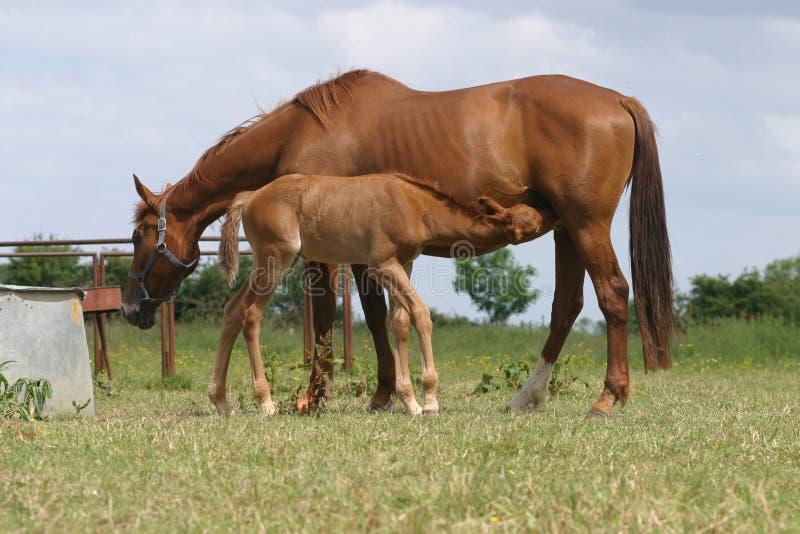 Download Cavalli fotografia stock. Immagine di rurale, molla, ranch - 7315132