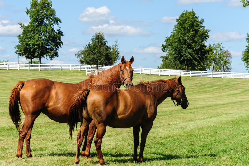 Cavalli fotografia stock