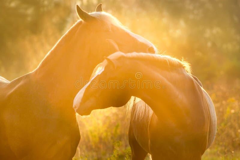 Cavalli ad alba fotografia stock libera da diritti