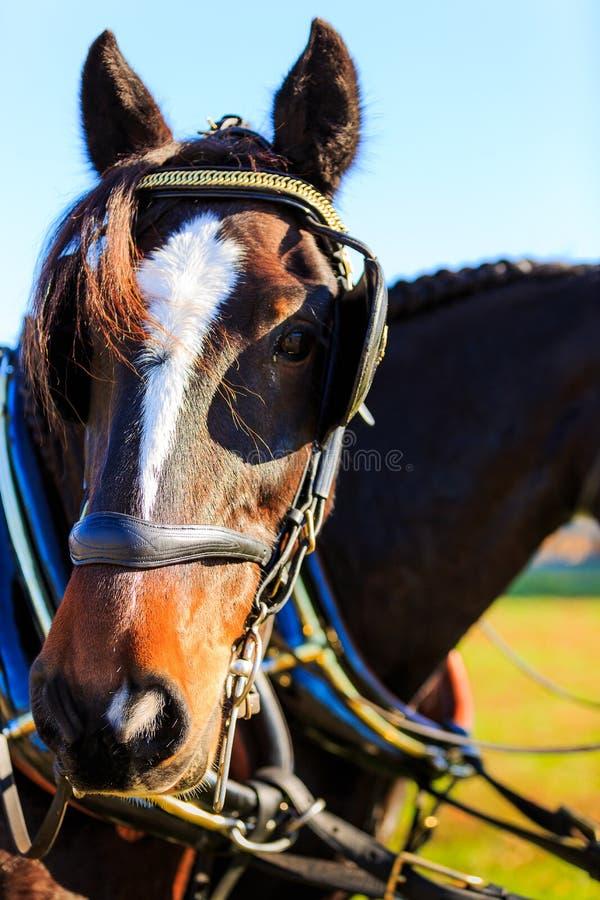 Cavalli alla manifestazione del trasporto con i paraocchi sopra fotografie stock