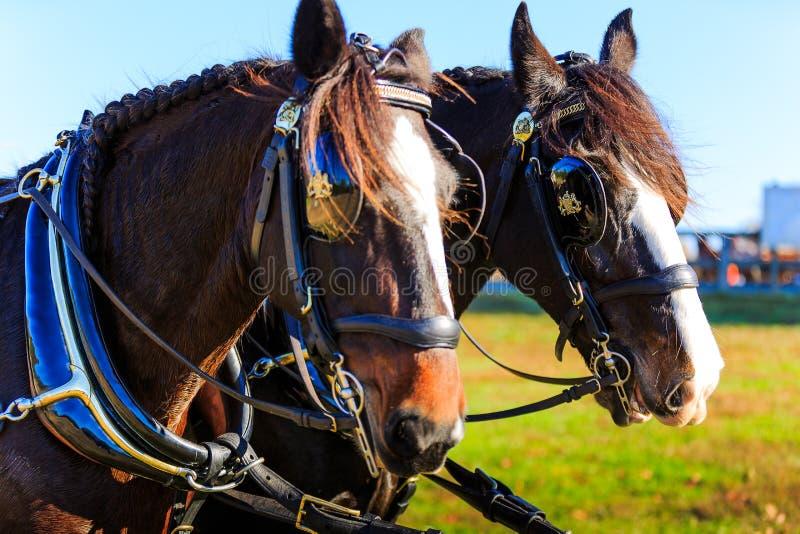 Cavalli alla manifestazione del trasporto con i paraocchi sopra immagini stock libere da diritti