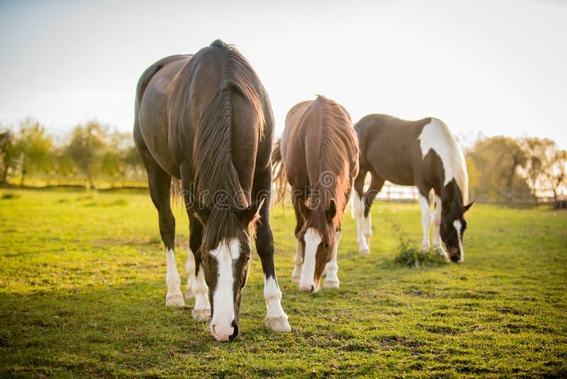 Cavalli americani della pittura che pascono sul prato di autunno immagini stock
