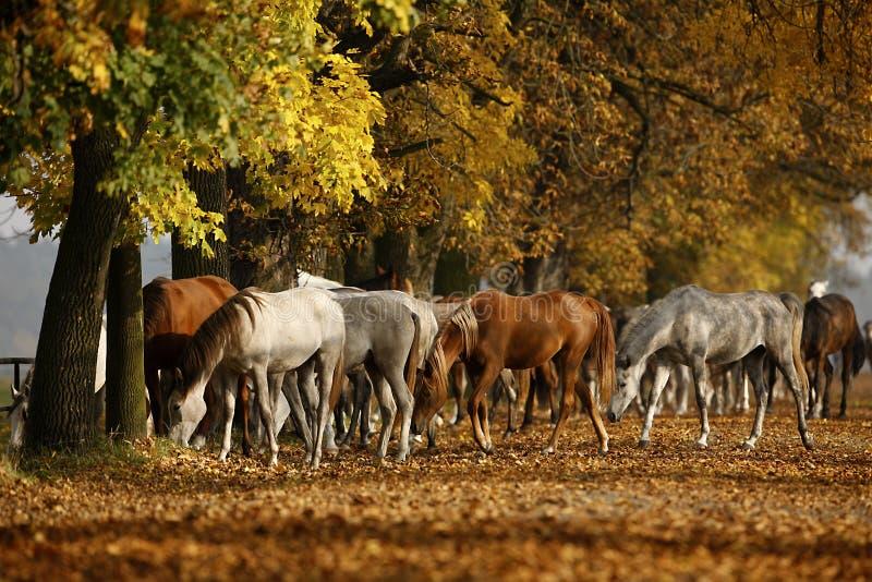 Cavalli in autunno fotografie stock libere da diritti