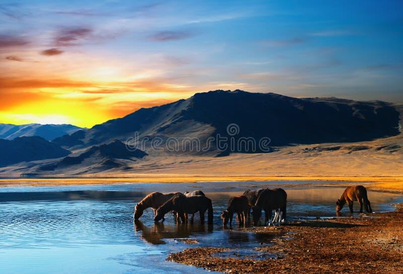 Cavalli beventi fotografie stock