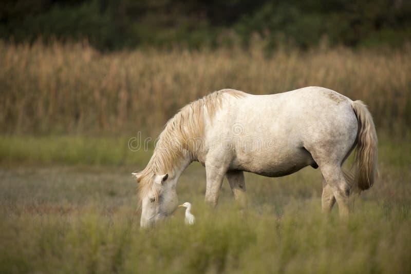 Cavalli bianchi di Camargue immagine stock libera da diritti