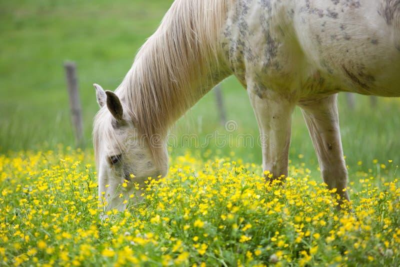 Cavalli bianchi e fiori gialli immagini stock