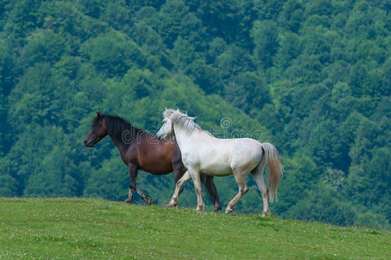 Cavalli in bianco e nero Stallone selvaggio funzionato sopra immagini stock