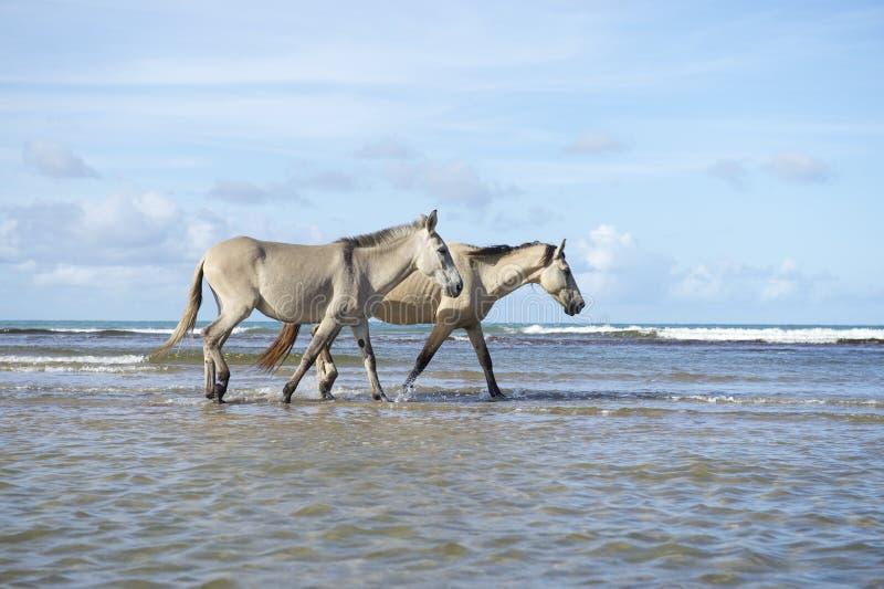 Cavalli brasiliani che camminano sulla spiaggia in Nordeste Brasile immagini stock libere da diritti