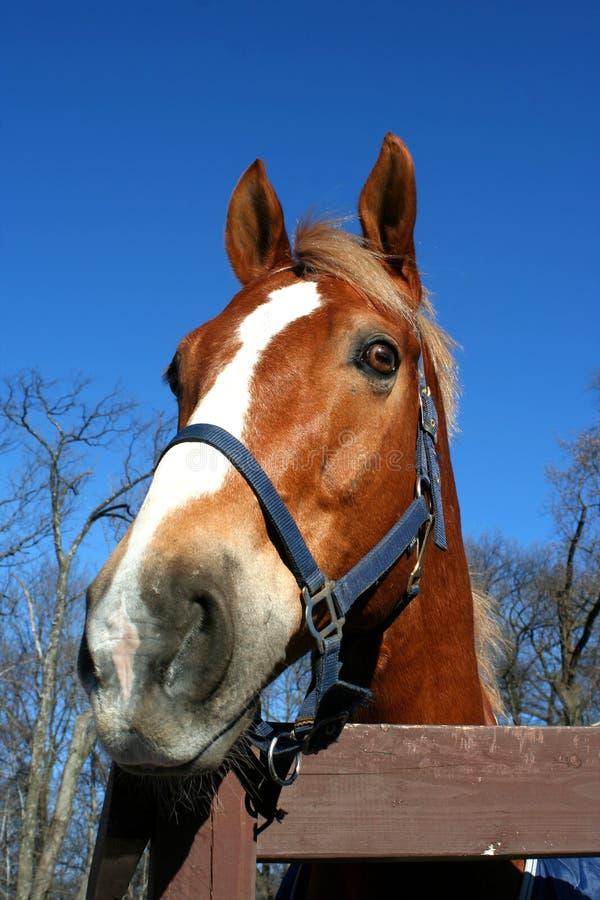cavalli capi immagini stock