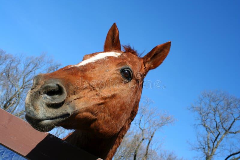 cavalli capi fotografie stock