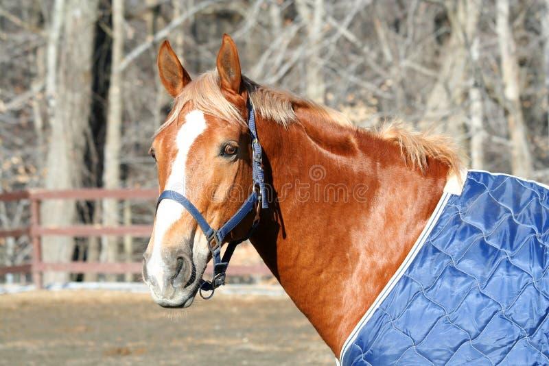 cavalli capi immagine stock libera da diritti