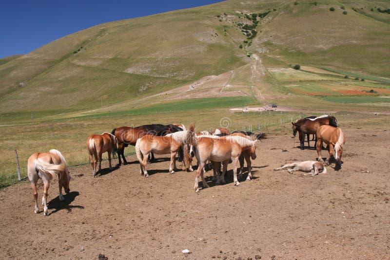 Cavalli in Castelluccio di Norcia fotografia stock