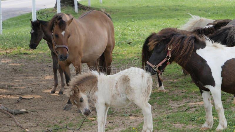Cavalli, cavallini e cavallini miniatura giocanti e pascenti nel campo di Amish fotografia stock libera da diritti