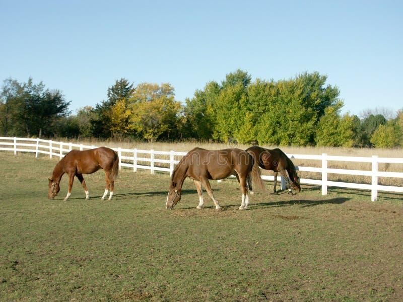 Cavalli che pascono nel pascolo immagini stock