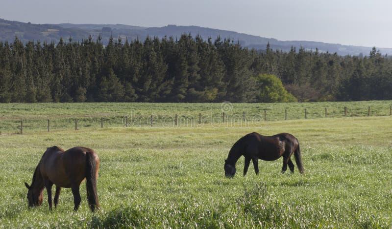 Cavalli che pascono nel prato immagini stock