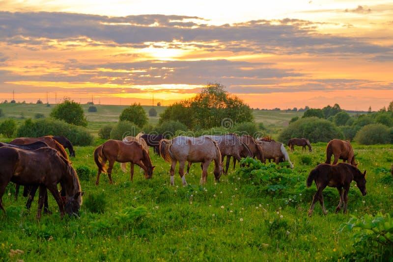 Cavalli che pascono nel prato al tramonto immagini stock libere da diritti